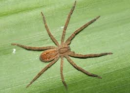 הדברת עכבישים טבעית